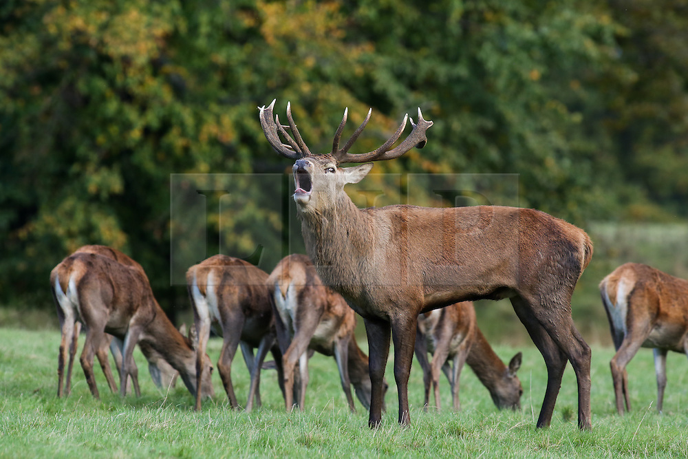 © Licensed to London News Pictures. 17/10/2016. Ripon, UK. A red deer stag roars on a autumnal day at Fountains Abbey, near Ripon in North Yorkshire. Photo credit : Ian Hinchliffe/LNP