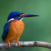 The blue-eared kingfisher (Alcedo meninting) is found in Asia, ranging across the Indian subcontinent and Southeast Asia. It is found mainly in dense shaded forests where it hunts in small streams.