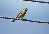House Sparrow (Passer domesticus) perched on a wire, Jocotopec, Jalisco, Mexico