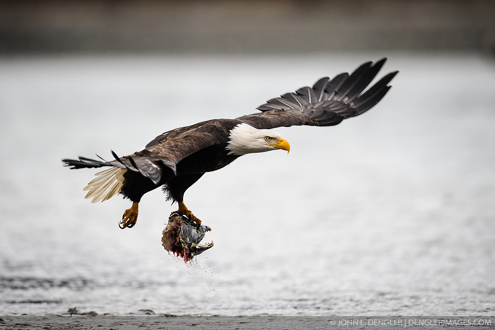 A bald eagle (Haliaeetus leucocephalus) flies away with the head of a chum salmon (Oncorhynchus keta) carcass over the Chilkat River in the Alaska Chilkat Bald Eagle Preserve near Haines, Alaska. During late fall, bald eagles congregate along the Chilkat River to feed on salmon. This gathering of bald eagles in the Alaska Chilkat Bald Eagle Preserve is believed to be one of the largest gatherings of bald eagles in the world.