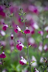 Salvia 'Amethyst Lips'