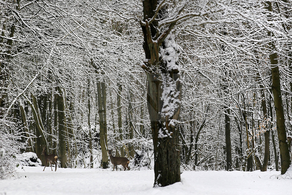 © Licensed to London News Pictures. 10/02/2012, London, UK.  Two deers, lower left, walk through the snow covered North Down in Surrey, south London, as the cold weather continue to affect much of Britain. Friday, Feb. 10, 2012. Photo credit : Sang Tan/LNP