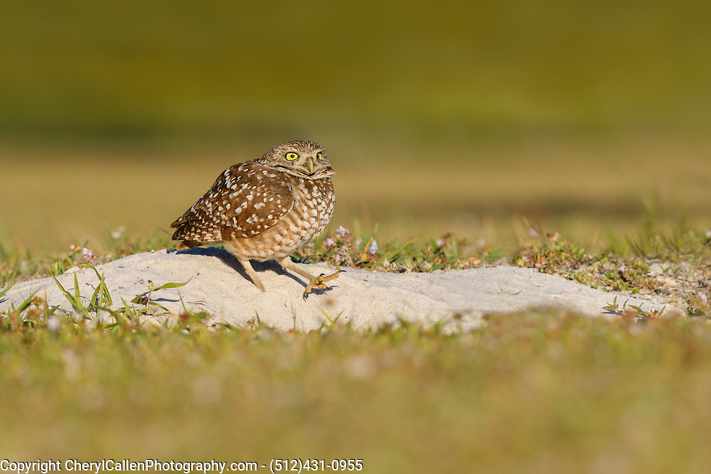 Burrowing Owl scurrying to his burrow