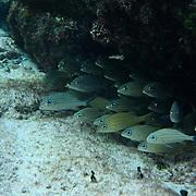 New born fish under rock..Cozumel, Quintana Roo..Mexico.