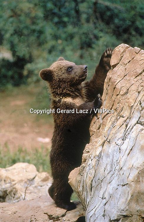 BROWN BEAR ursus arctos, CUB CLIMBING ON ROCK
