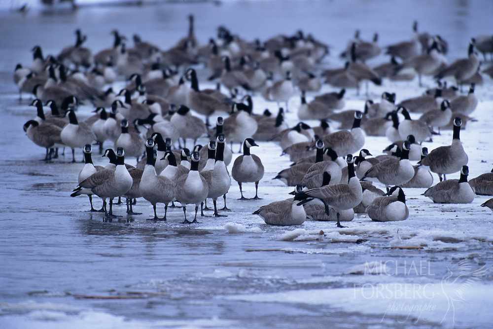 Canada Geese. Audubon Rowe Sanctuary, Nebraska.  Migrating canada geese on frozen Platte River.