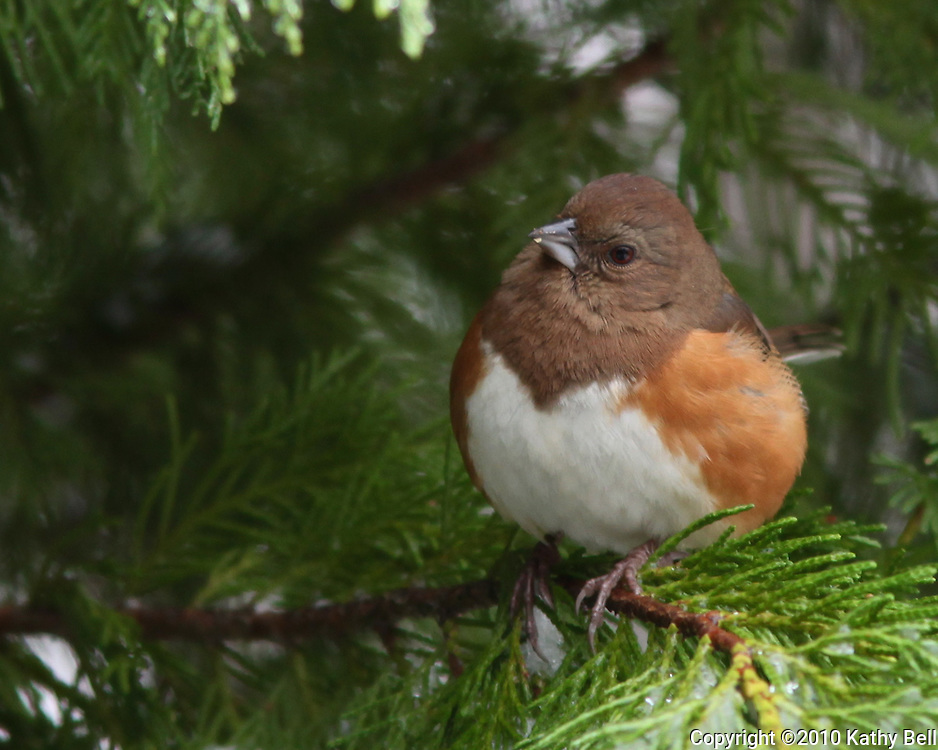 Female towhee on an evergreen branch.