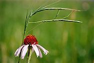 A coneflower on the American prairie.