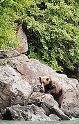 USA, Katmai National Park (AK).Brown bear (Ursus arctos) climbing a rock