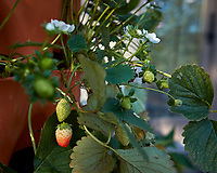 Strawberries that the deer missed on my Patio. Image taken with a Leica CL camera and 23 mm f/2 lens (ISO 100, 23 mm, f/3.2, 1/200 sec).