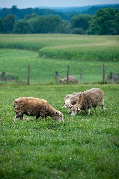 Sheep on pasture, Churchville MD