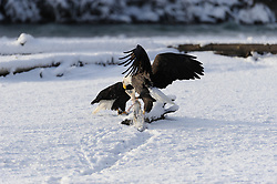 This photo is part of a sequence in which a bald eagle drags a salmon from the Chilkat River only to eat it in front of the eagle that it dragged it up to. In this image (eighth of the twelve image sequence) a second eagle continues to drag a salmon from the river towards the other eagle. The photo was taken in the Alaska Chilkat Bald Eagle Preserve near Haines, Alaska.