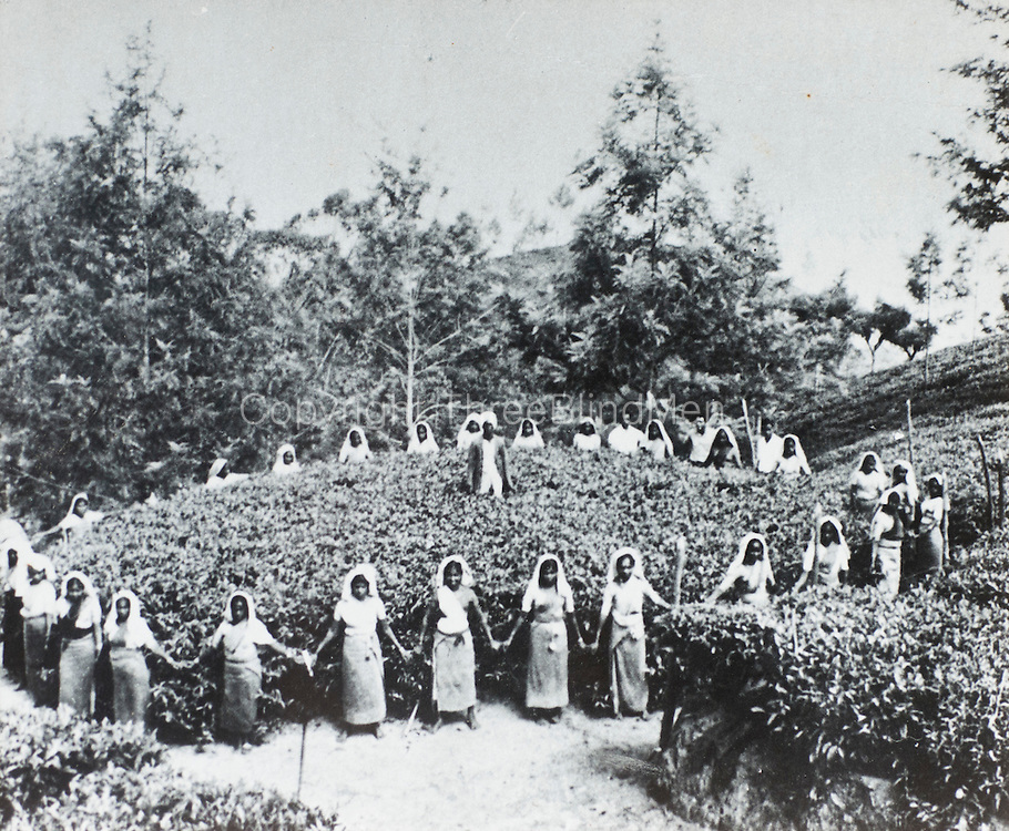 Largest Tea Bush. Gonapitiya Estate.<br /> Gifted to Tea Museum by Dereck Samarasingha