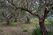 Olive tree plantation on Crete Island, Greece