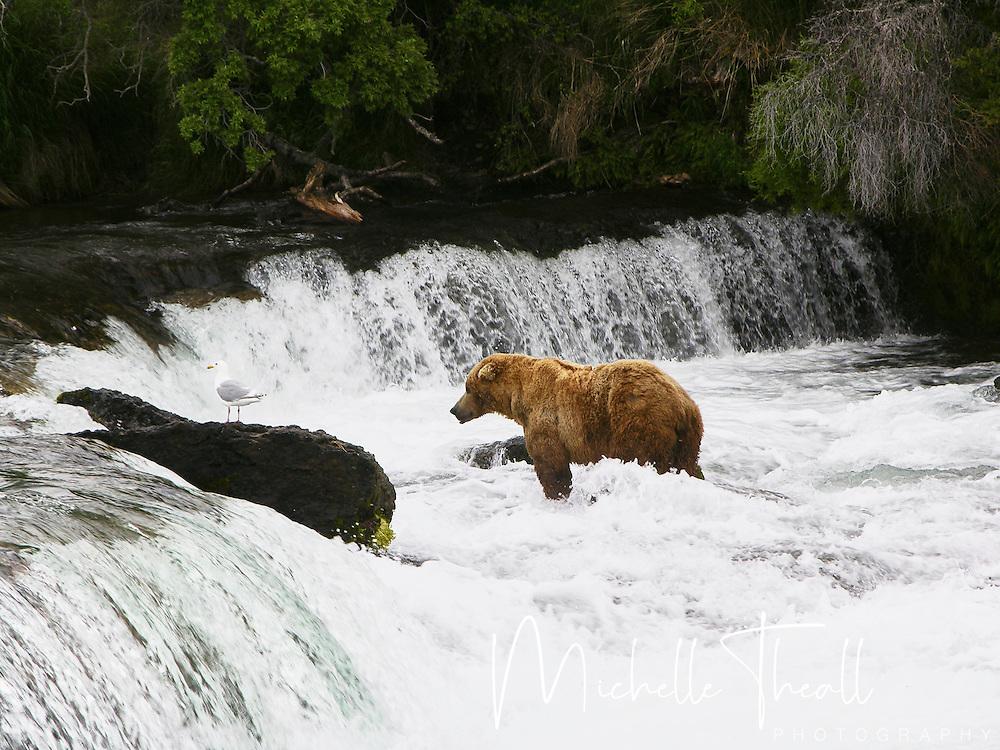 One of several brown bears fishing at Brooks Falls at Katmai