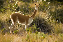 Vicuna, Suasi Island (also known as Isla Suasi), Lake Titicaca, Peru, South America