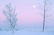 Alaska. Hoar frost on trees in winter scenic with twilight moon.