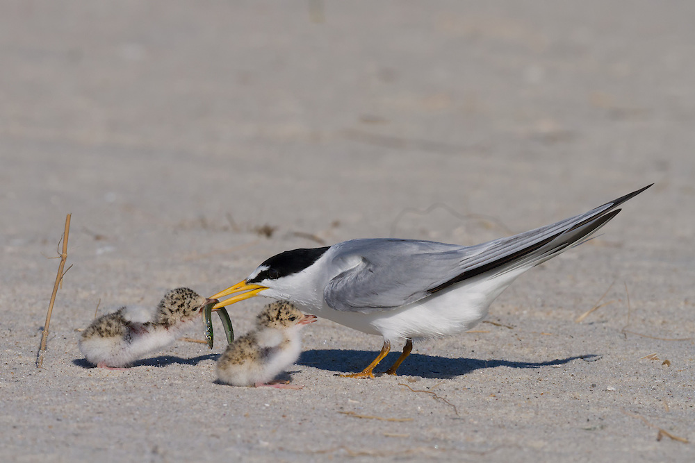 Adult least tern (Sternula antillarum, formerly Sterna antillarum) feeding chicks.