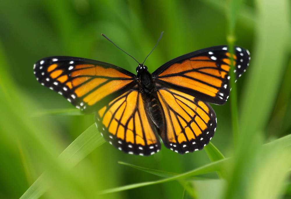 Monarch butterflies are a orange and black butterfly which may be the most recognizable butterfly in North America.
