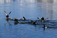 Black guillemots (Cepphus grylle) take flight in the icy waters of Kongsfjorden, Svalbard.