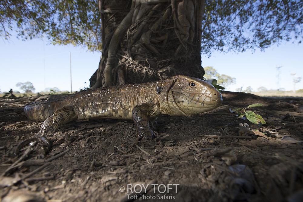 Paraguayan caiman lizards (Dracaena paraguayensis), Pantanal, Brazil