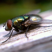 Macro photo of a fly made with cell phone camera October 18, 2010, in Washington, DC...Photo by Khue Bui