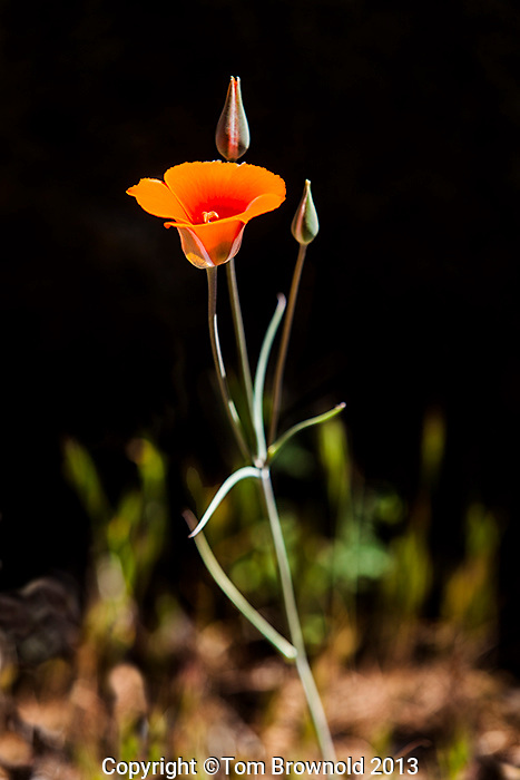 solitary Mariposa lily