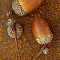 Two ripe brown acorns of English oak or Quercus robur tree still in their cups with their stalks and empty cup lying on rusty metal sheet