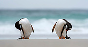 Gentoo penguins (Pygoscelis papua) from Saunders Island, the Falkland Islands.