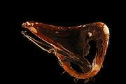 Pelikanaal (Eurypharynx pelecanoides), 800-1000m tiefe, 30.04.1992