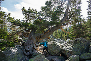 Gnarly pine tree at Lake Haiyaha. Hike a classic loop from Bear Lake Trailhead with spur trails to many beautiful lakes, waterfalls and peaks in Rocky Mountain National Park, Colorado, USA. Walk a scenic circuit of well-graded paths 6-13 miles with 1500-2600 feet gain. We enjoyed looping counterclockwise from Bear Lake Trailhead 13 miles via Bear Lake, Nymph Lake, Dream Lake, Emerald Lake, Lake Haiyaha, The Loch, Timberline Falls, Lake of Glass, Sky Pond, Alberta Falls then back. Arrive early for parking or take the shuttle.