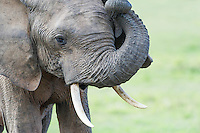 African Elephant rubbing its head with its trunk , Addo Elephant National Park, Eastern Cape, South Africa
