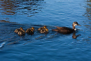 Grey Duck interbred with Mallard, New Zealand