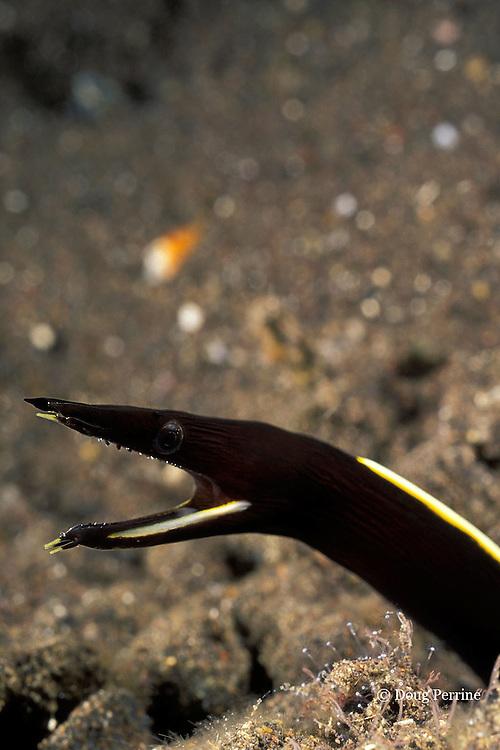 ribbon eel or ribbon moray, Rhinomuraena quaesita, juvenile - black color phase, Tulamben Bay, Bali, Indonesia