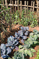 cabbages planted in a dry garden with picket fence