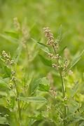 Cherry Vanilla Quinoa bred by Frank Morton of Wild Gareden Seed.