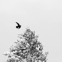 bird flying over a snow covered pine tree in Santa Fe, NM