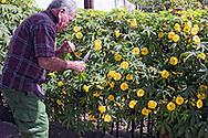 Man cutting flowers in Santa Lucia, Pinar del Rio, Cuba.
