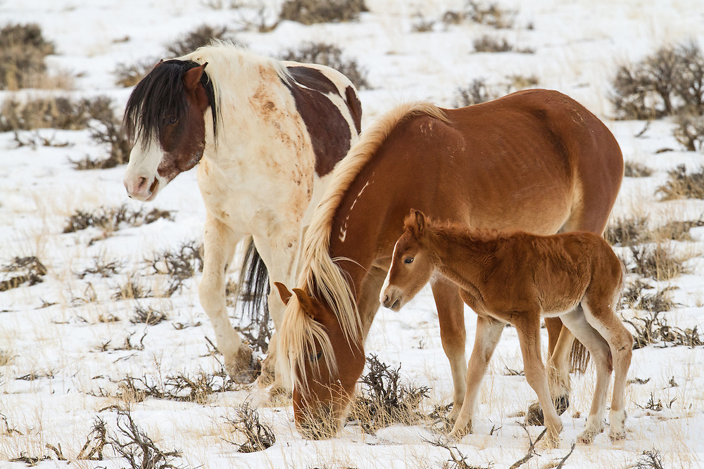 The mare, Tigress and her stallion, Medicine Hat, stick close to their newborn foal at the Mccullough Peaks Herd Management Area outside Cody, Wyoming.