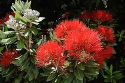 New Zealand Christmas tree, pohutukawa, Metrosideros excelsa