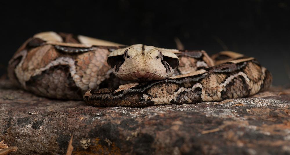 Gabon Viper, (Bitis gabonica), Captive