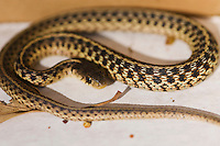 The common (eastern) garter snake, Thamnophis sirtalis, are common across North America. The non-venomous snake is terrestrial, and may be found in damp areas, or near water such as lakes, stream banks, wetlands, or in wooded areas.  Garter snakes are ovoviviparous, which means they bear their young alive.