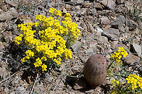 Fendler's Bladder Pod (Lesquerrella fendleri) and pincusion cactus, Van Horn, Texas.