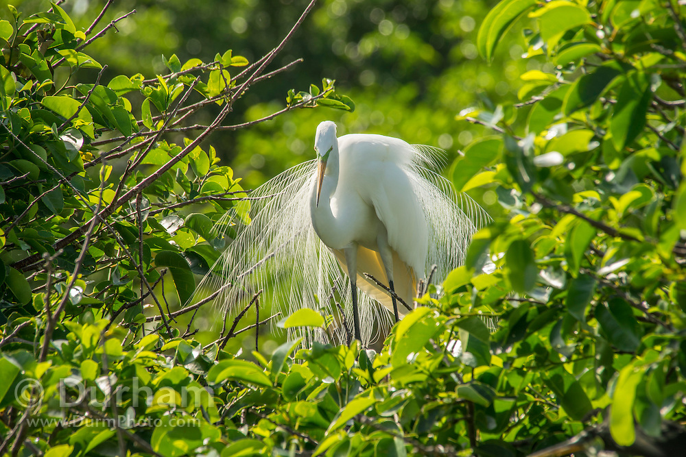A great egret (Ardea alba) displays in breeding plumage at Wakodahatchee wetlands, Florida.