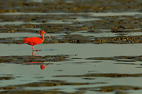 A Scarlet Ibis (Eudocimus ruber) foraging in the mudflats in the Orinoco River Delta, Venezuela.