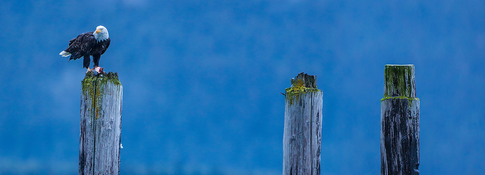 Bald Eagle eating fish on the stumps of an old jetty in Seward, Alaska, USA
