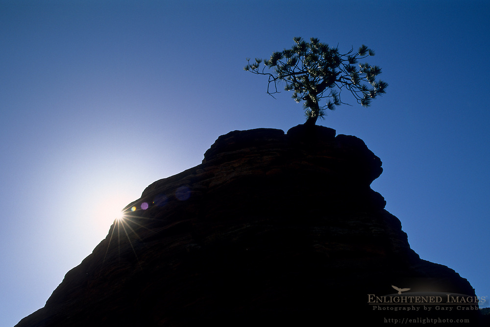 Lone pine tree growing out of sandstone rock along the Zion - Mt. Carmel Highway, Zion National Park, UTAH