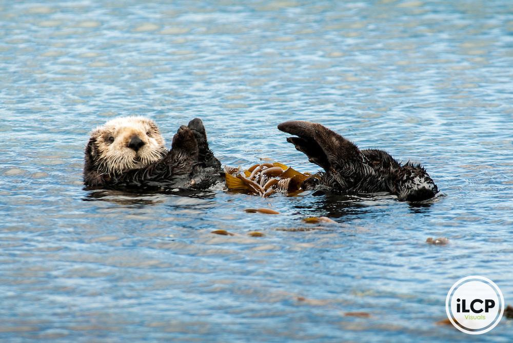 USA: California, Morro Bay, sea otter ((Enhydra lutris)), an endangered sea mammal) with kelp (sea weed)