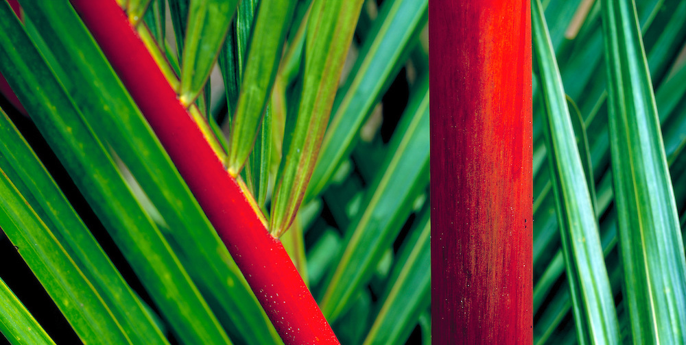 Red and Green Palm