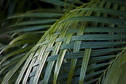 July 21, 2019 - Palm Leaves Woven Together (Credit Image: © Caley Tse/Design Pics via ZUMA Wire)